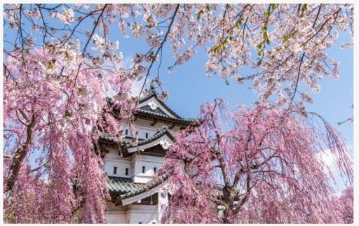 Bunga Sakura Taman Hirosaki