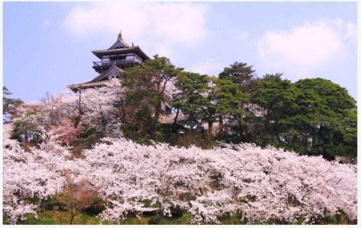 Festival Bunga Sakura Istana Maruoka