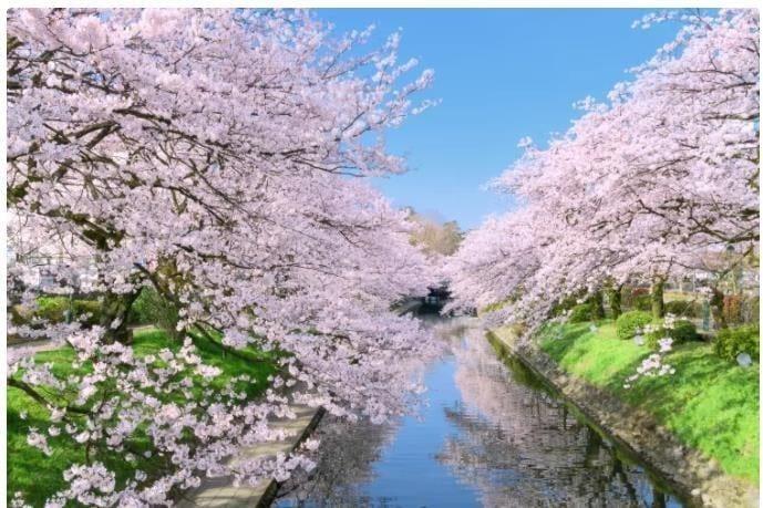 Jepang pada Bulan April Musim Semi Merekah