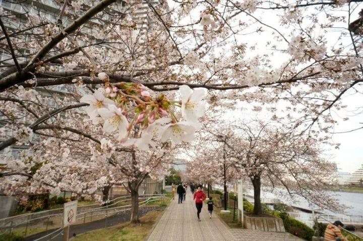 Musim Semi di Jepang: Waktu Mekar Sakura, Informasi Iklim, dan Fashion